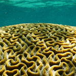 BrainCoral-News