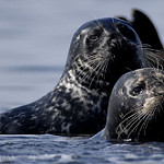 Harbor seal dietary insights gained through new DNA technique