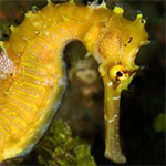 FCRR – The catch and trade of seahorses in the Philippines post-CITES