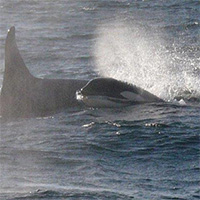 """Whale breath"" reveals bacteria threatening endangered killer whales"