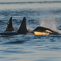 Apex marine predators affected by human-made pollutants and climate change
