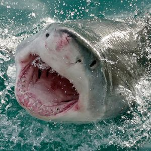 Climate change jaw dropper: Great white shark could one day prowl B.C. waters