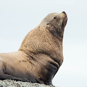 Steller sea lion research front and centre at the Vancouver Aquarium