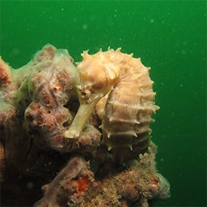 Seahorse exploitation and trade in Viet Nam