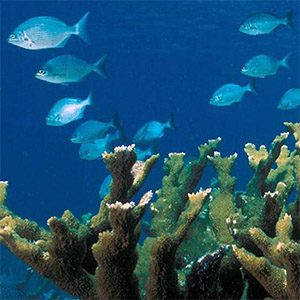 Reefs help protect vulnerable Caribbean fish from climate change
