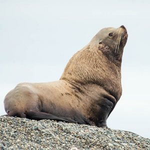 Measuring body fat in Steller sea lions and other pinnipeds