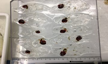 Collection of salps