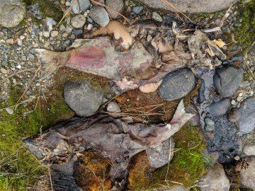 Some salmon didn't make it (photo © Ravi Maharaj)