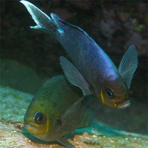 Most female fish grow bigger than the males