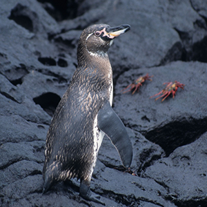 Greater conservation efforts needed to protect Galápagos bird populations, a new study shows