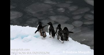 Andrew Margolin – Molting Adélie penguins