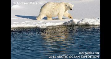 Andrew Margolin – Polar Bear