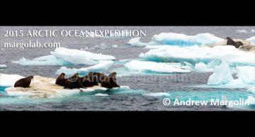 Andrew Margolin – Walruses