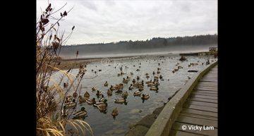 Vicky Lam – Mallard Ducks