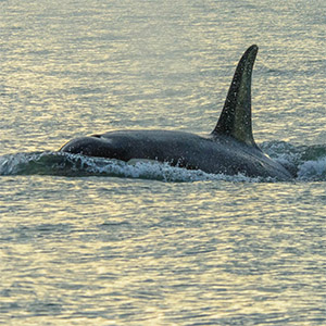 New footage gives whale's-eye view of northern and southern resident orcas