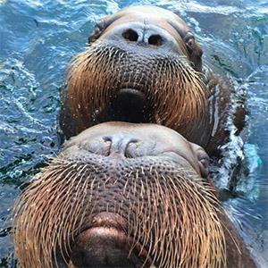 Go walrus, go!