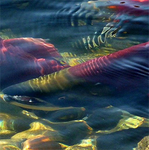 IOF researchers use salmon scales to track sockeye in the high seas