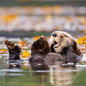 Recovery of sea otter populations yields more benefits than costs