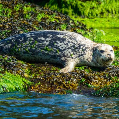 Harbour seals respond differently to pulses of out-migrating coho and Chinook salmon smolts