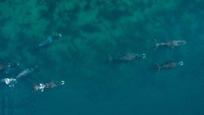 Bowhead whale photo 3