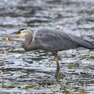 Blue herons identified as a significant juvenile salmon predator
