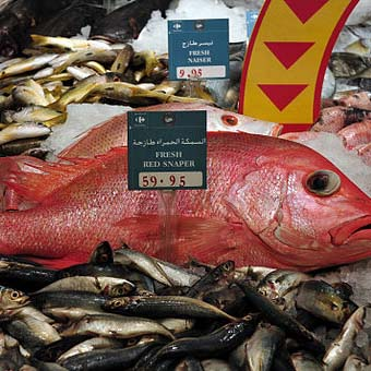IOF researchers find simple solution to Kuwait's blood snapper woes