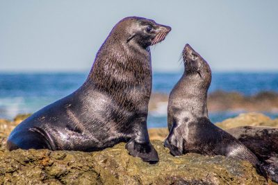 Sexual dimorphism in Guadalupe fur seals