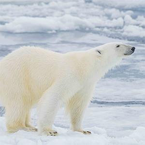 Q & A: Big data meets big (polar) bears