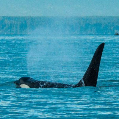 No apparent shortage of prey for southern resident killer whales in Canadian waters during summer